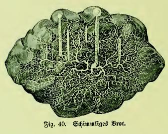 Image of <i>Rhizopus stolonifer</i> (Ehrenb.) Vuill. 1902