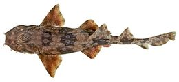Image of Dwarf Spotted Wobbegong
