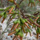 Image of <i>Eucalyptus eremophila</i> (Diels) Maiden