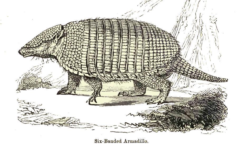 Image of Six-Banded Armadillo
