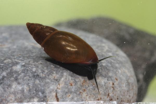 Image of <i>Aplexa hypnorum</i> (Linnaeus 1758)