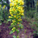 Image of Buckley's goldenrod