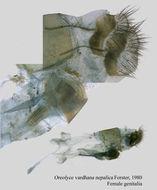 Image of <i>Arletta vardhana</i> (Moore 1874)