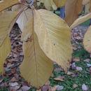 Image of Sprenger's magnolia