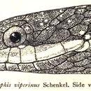 Image of <i>Hebius viperinum</i> (Schenkel 1901)