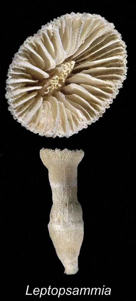 Image of cup coral