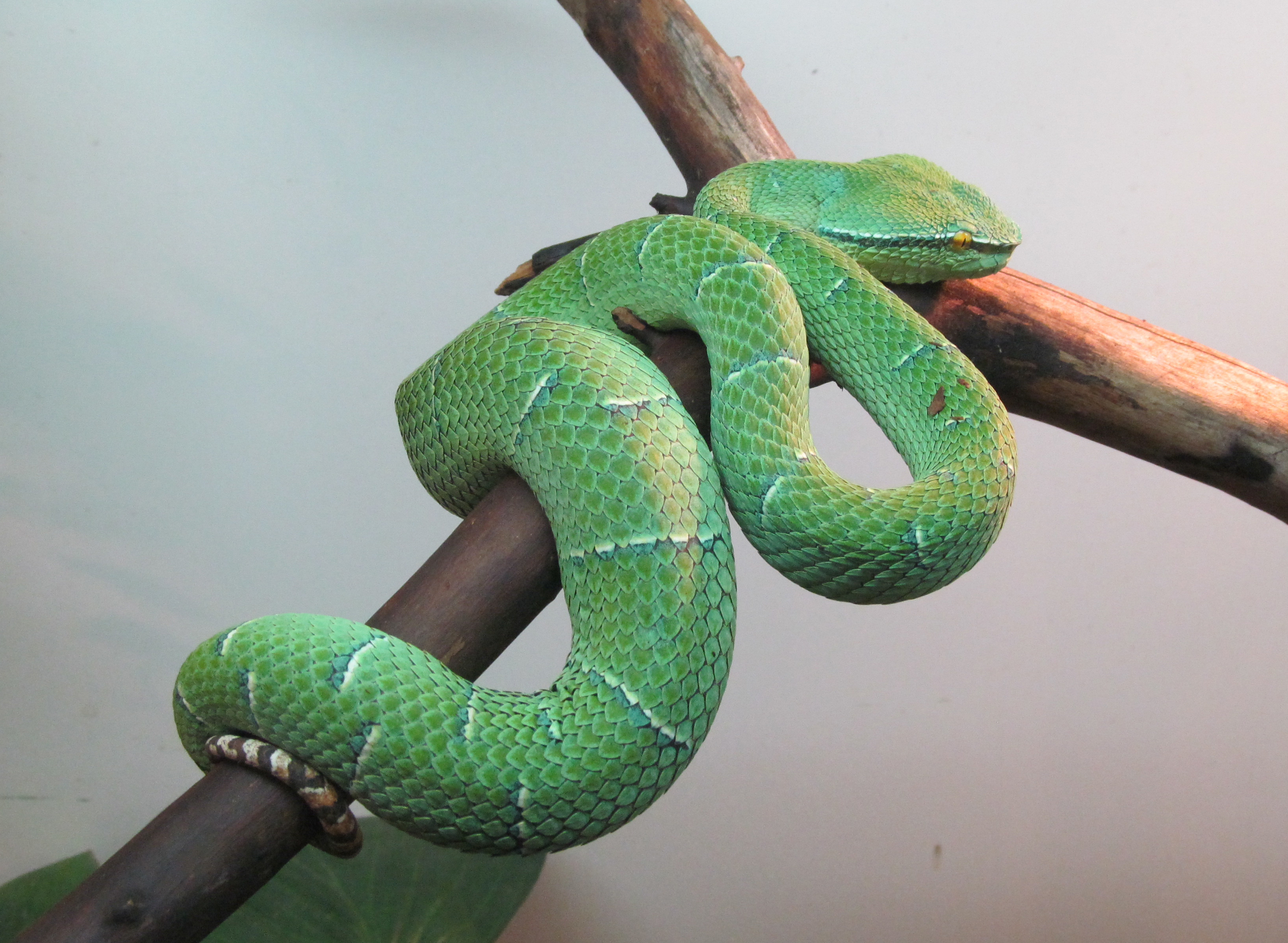 Image of Broad-banded Temple Pitviper