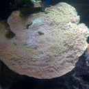 Image of Montipora coral