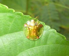 Image of Golden Tortoise Beetle