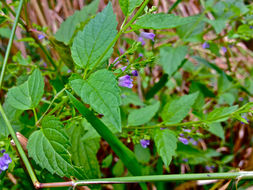 Image of blue skullcap