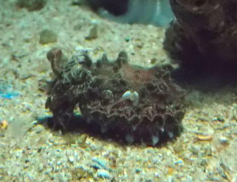Image of Paintpot Cuttlefish