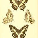Image of <i>Papilio erithonioides</i> Grose-Smith 1891