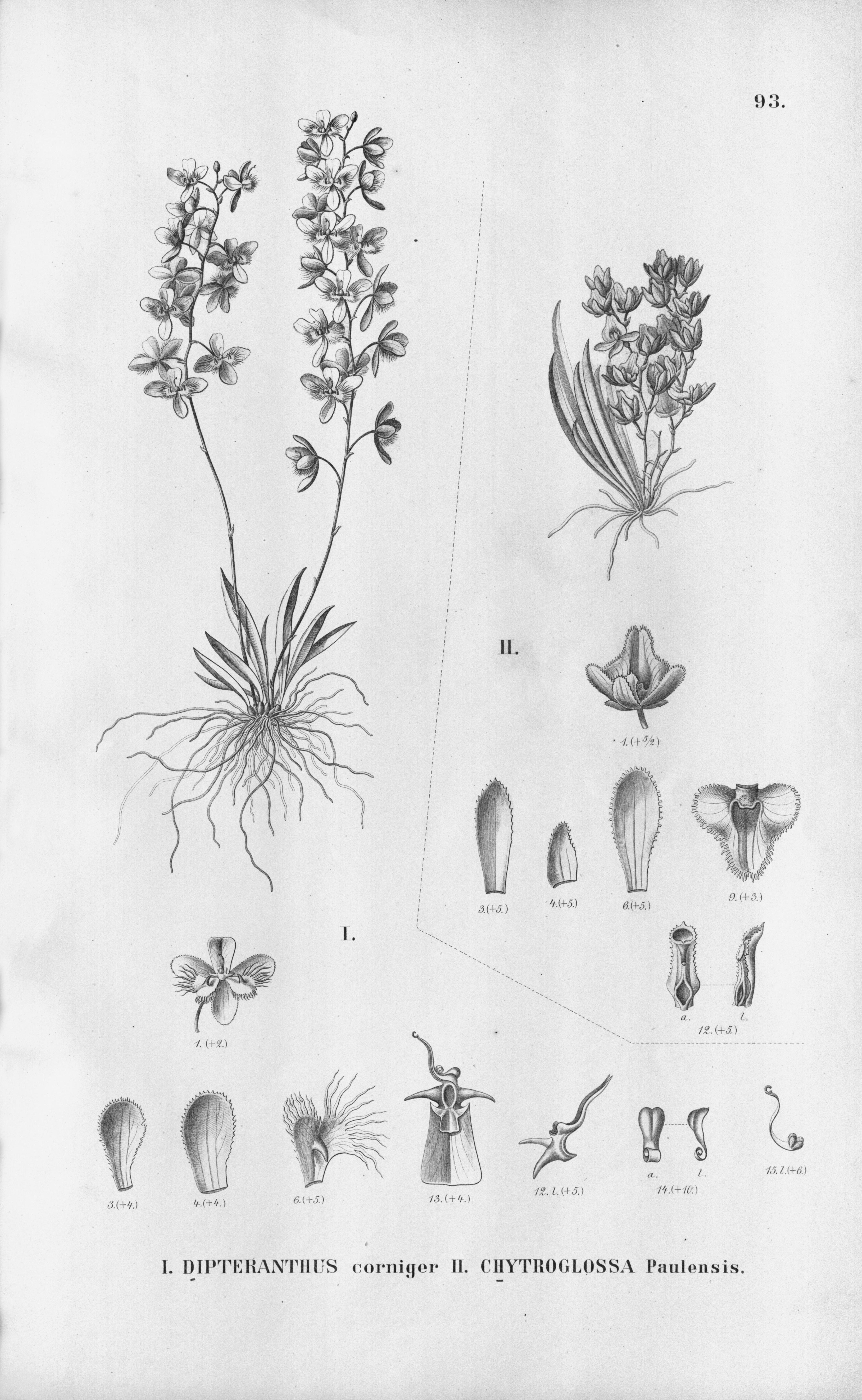 Image of Zygostates