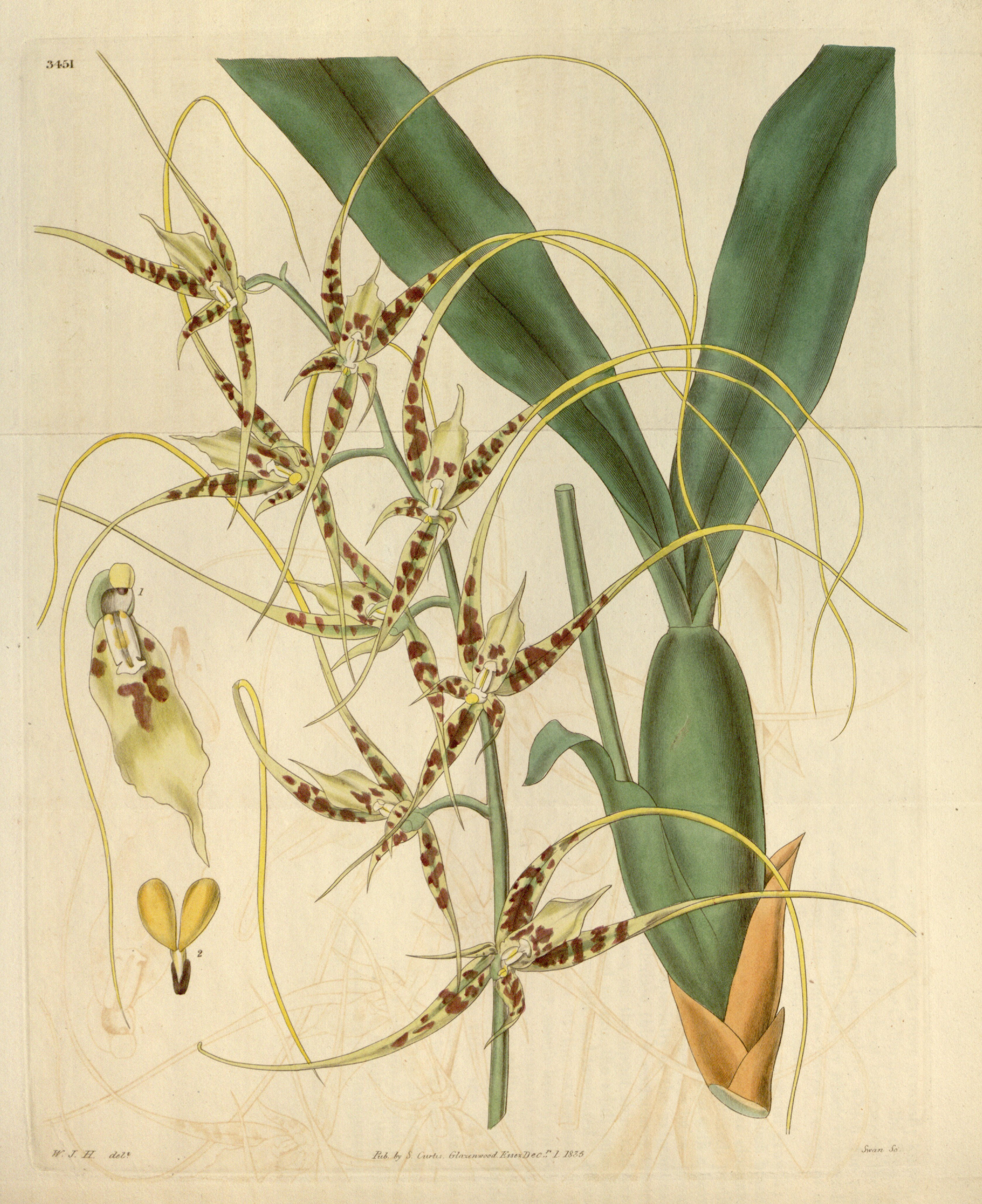 Image of cricket orchid