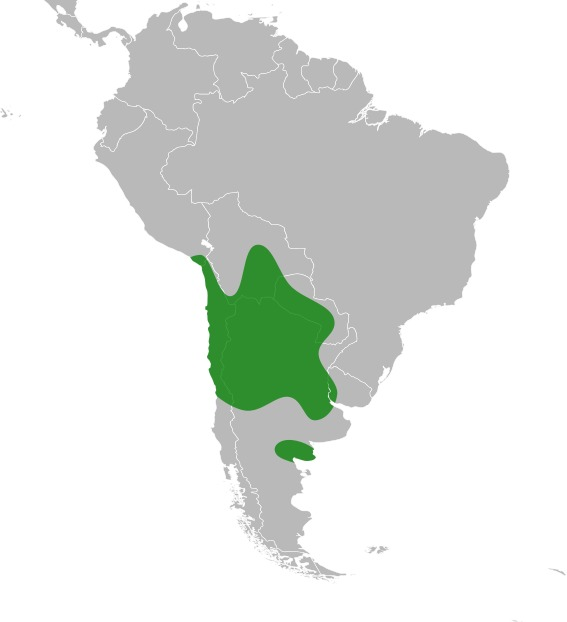 Image of chañar