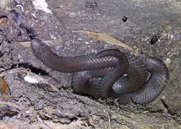 Image of Common Slug Eater