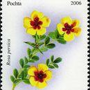 Image of <i>Rosa persica</i> Michx. ex J. F. Gmel.