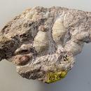 Image of Spiriferida