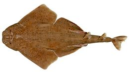 Image of Western Angel Shark