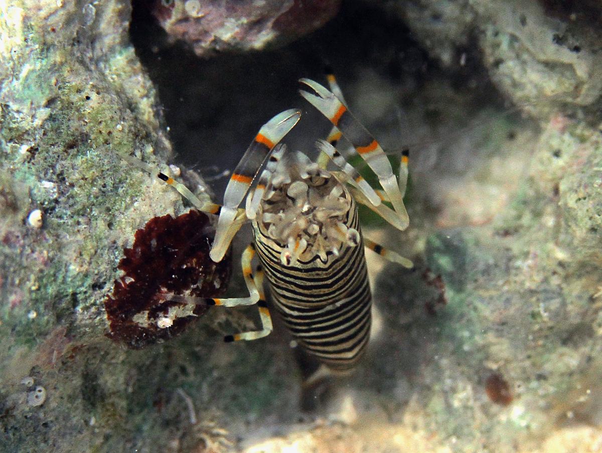 Image of Striped bumblebee shrimp
