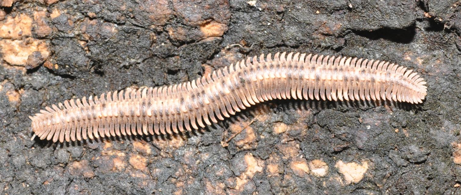 Image of Platydesmid millipedes
