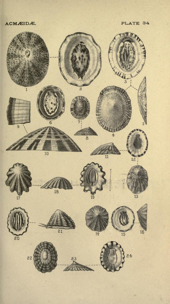 Image of Pacific white cap limpet