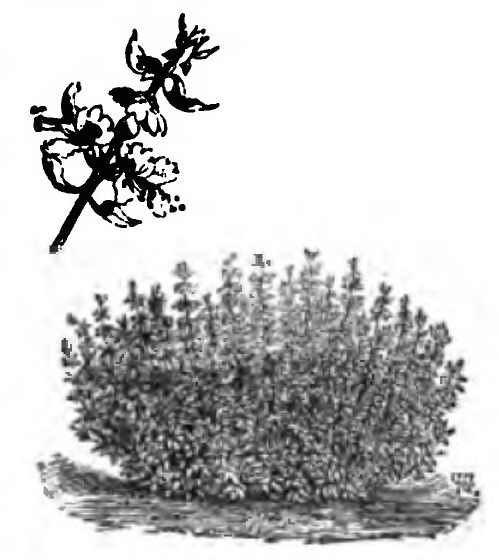 Image of <i>Ocimum minimum</i> L.