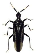 Image of <i>Macrotrachelia nigronitens</i> (Stål 1860)
