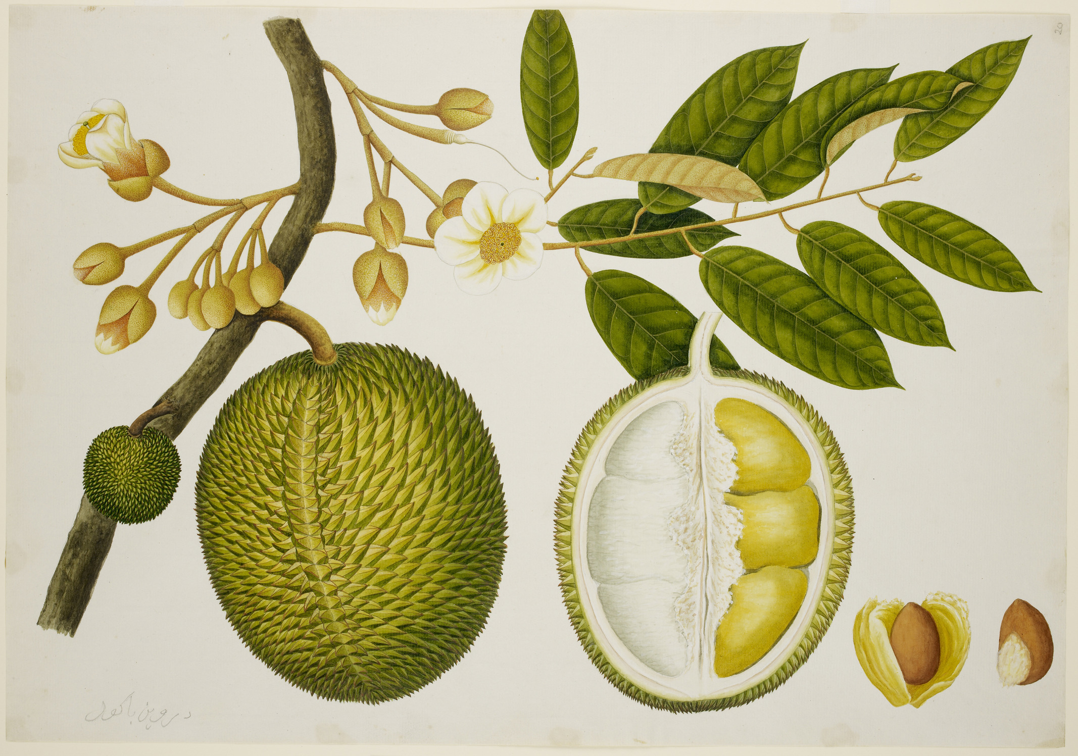 Image of durian