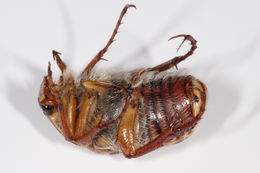 Image of Punctate flower chafer