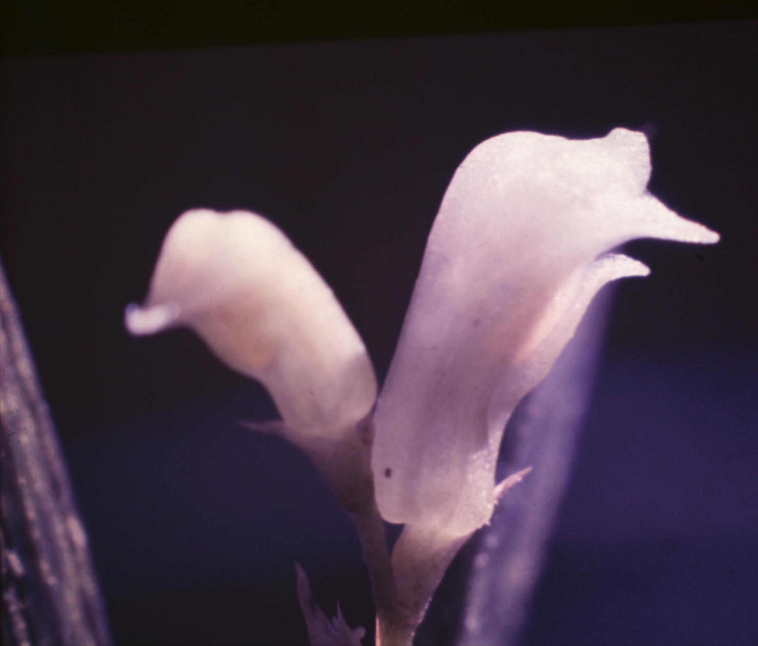 Image of Quekettia