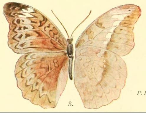 Image of <i>Bebearia ducalis</i> Grünberg 1912