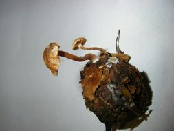 Image of Flammulaster