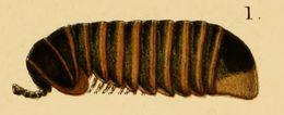 Image of Arthrosphaeridae