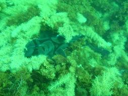 Image of Port Jackson Shark