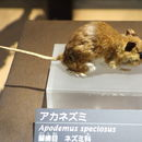 Image of Large Japanese Field Mouse