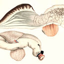 Image of heteropods