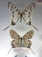 Image of <i>Sericinus montela</i> Gray 1852