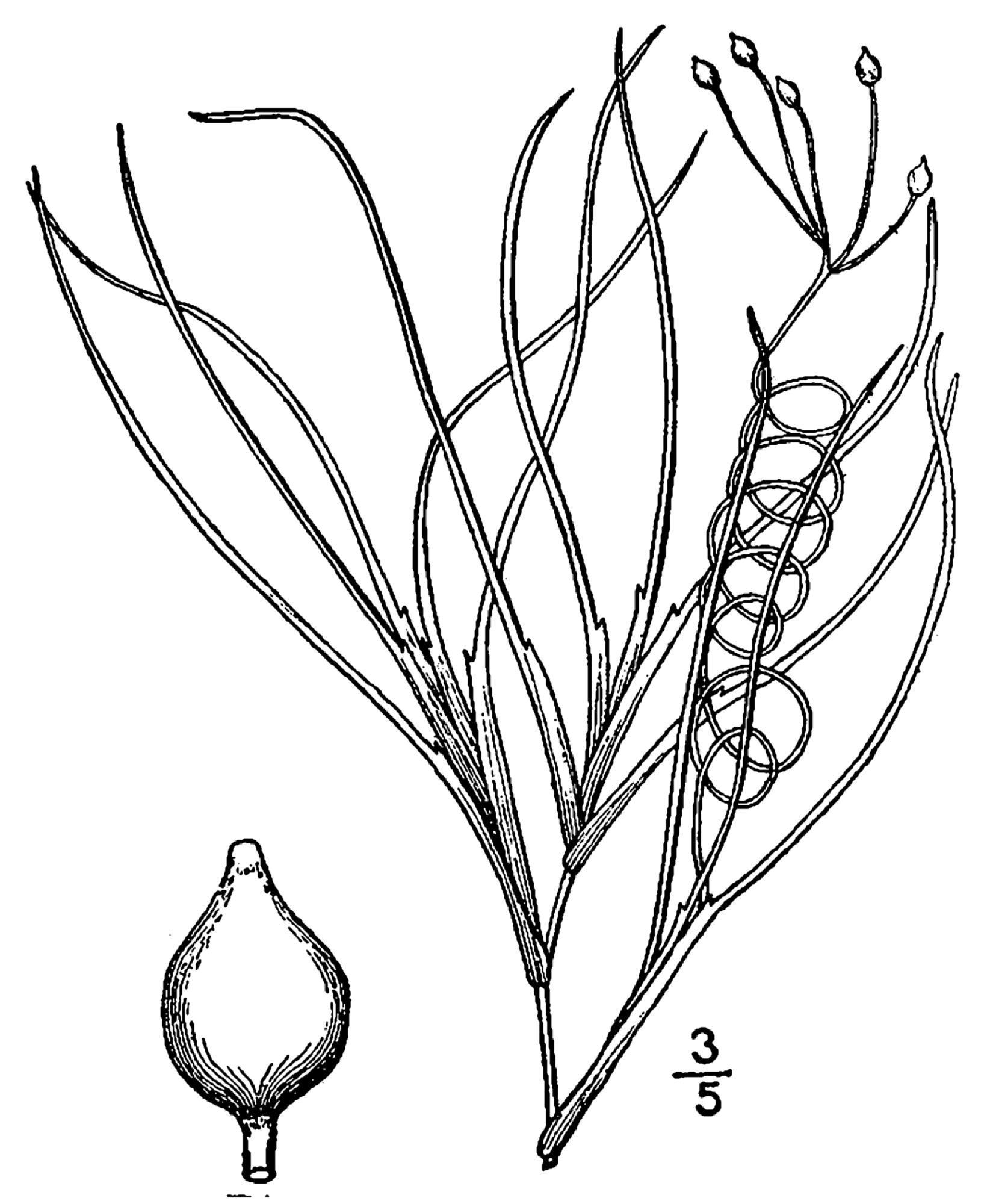Image of spiral ditchgrass