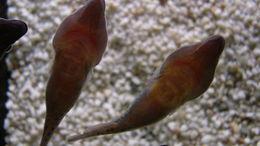 Image of Cornish Sucker