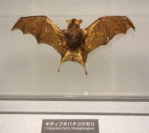 Image of bumblebee bat