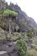 Image of giant groundsel