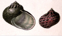 Image of <i>Pseudostomatella papyracea</i> (Gmelin 1791)