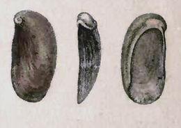 Image of <i>Stomatella auricula</i> Lamarck 1816