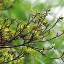 Image of <i>Rhododendron kanehirae</i> Wils.