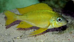 Image of Ophthalmotilapia