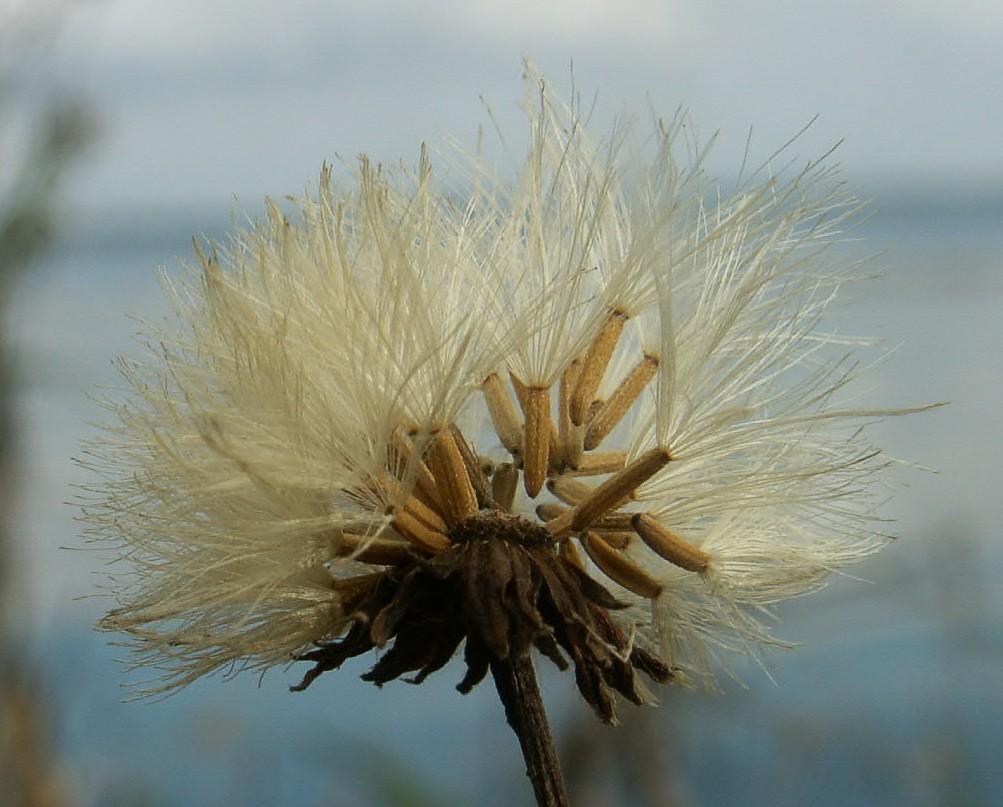 Image of marsh sowthistle