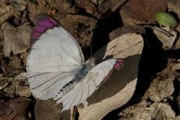 Image of Bushveld Purple Tip