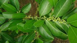Image of <i>Suregada multiflora</i> (A. Juss.) Baill.