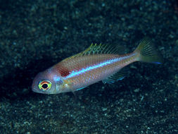 Image of Collared monocle bream